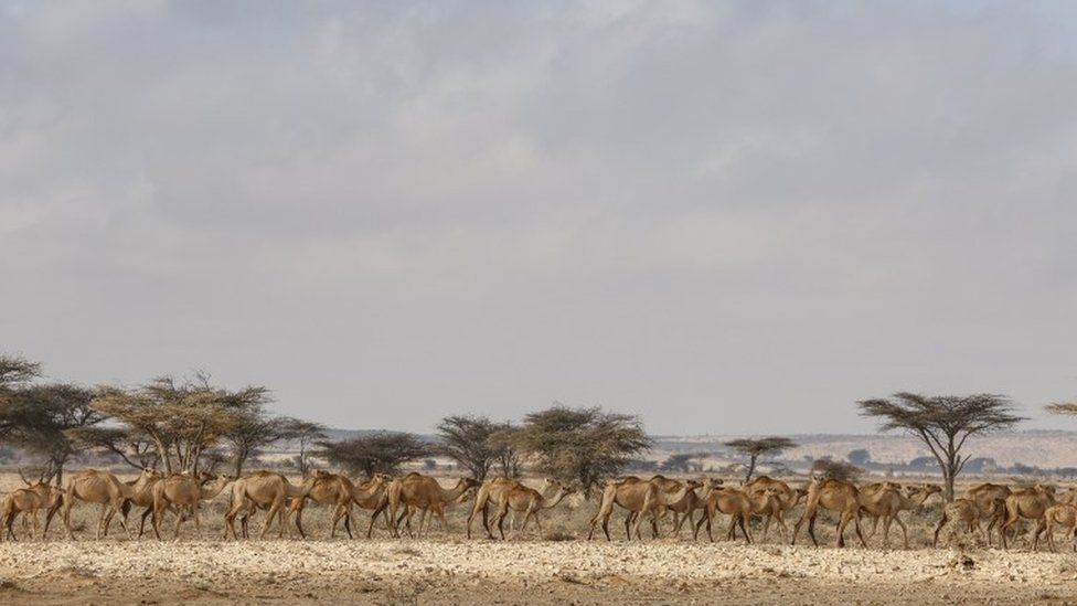 These camels were on the move in the Somali semi-autonomous region of Puntland.