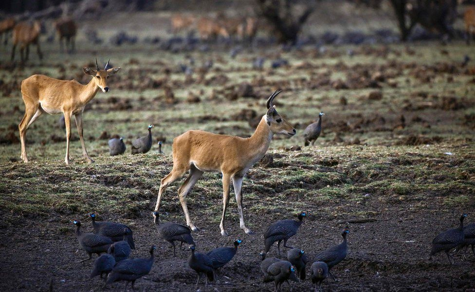 An antelope drinking from a pond in Dinder national reserve, in Sennar state in Sudan, Sudan. / AFP PHOTO 14 April