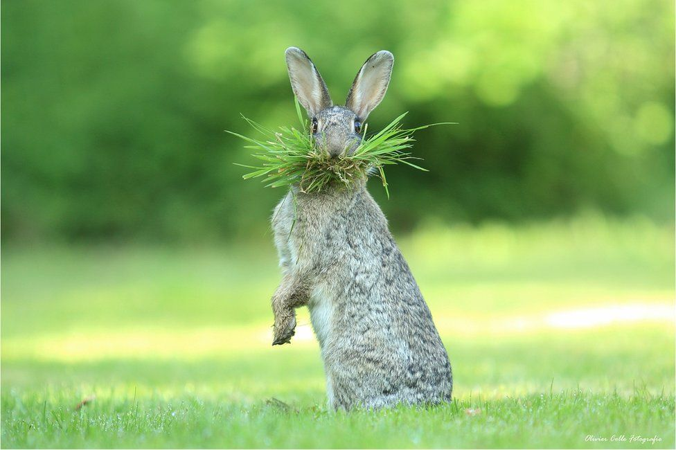 Заєць, hare. Photo: Olivier Colle
