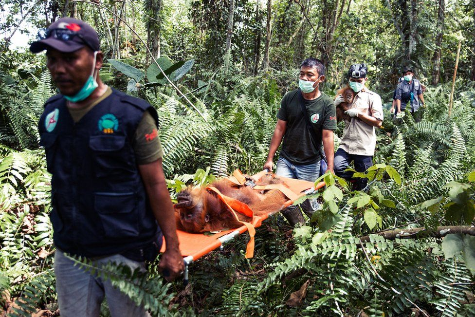 The SOCP team carry the sedated female and her baby out of the forest to the vehicles that will relocate them to a safe forest northern Sumatra