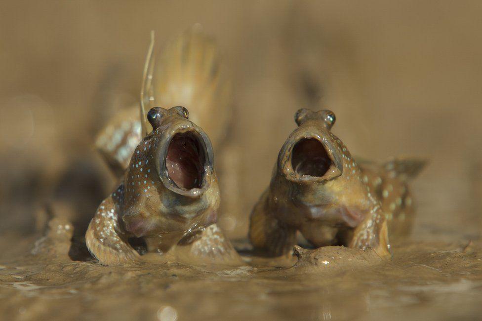 Муслисті стрибуни, mudskippers. Photo: Daniel Trim.