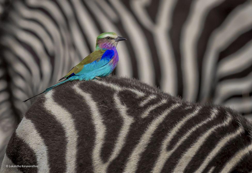 una carraca lila subida a una cebra