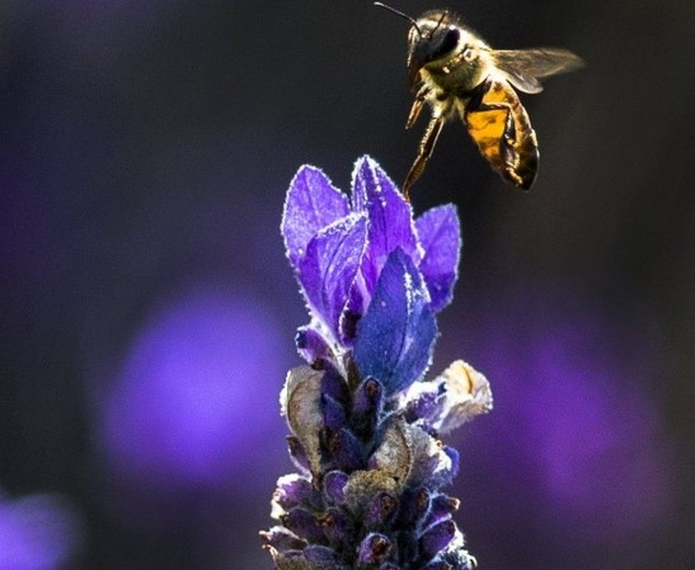 Bees fly amongst a lavender bush in Cape Town, South Africa, 18 November 2017. Bee colonies are under stress recovering from an American foulbrood disease outbreak in 2015 which killed off forty percent of all bees in the Western Cape.