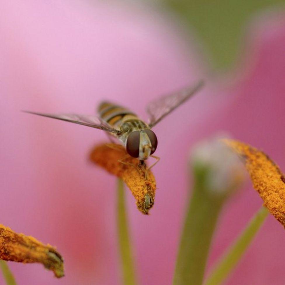 Una mosca cernidora sobre un lirio de Pascua