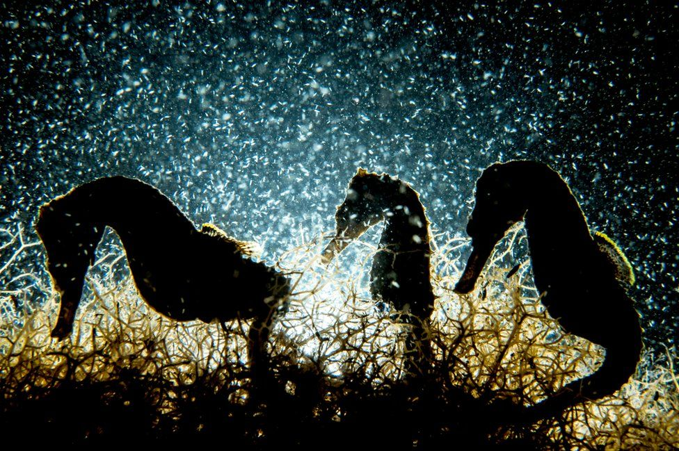 Three seahorses backlit under the water.
