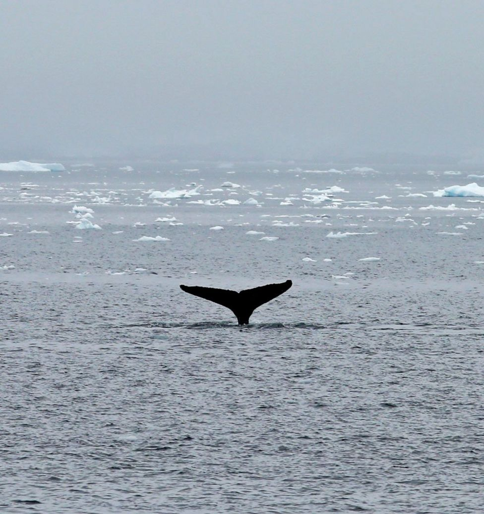 The tail of a whale seen sticking out the water