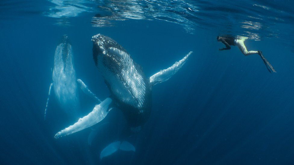 Humpback whales swimming under the water