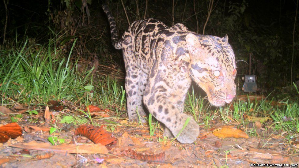 The Sunda clouded leopard Neofelis diardi photographed in the Deramakot Forest Reserve in Sabah Malaysian Borneo