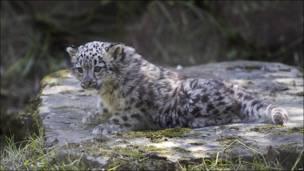 Cría de leopardo alvino.