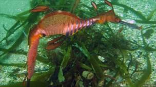 Травяной морской дракон (тряпичник)