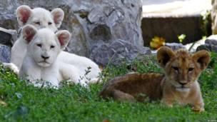 Три львенка на зеленой траве