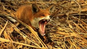 Raposa bocejando (Oliver Wilks/BWPA)