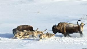 Lobos cazando bisontes