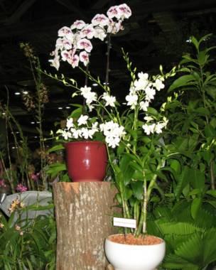 Doritaenopsis Sir Elton John dan Dendrobium Memorial Princess Diana