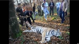 Тигрицу, бежавшую из зоопарка, убили выстрелом в голову