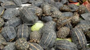 Контрабандные черепахи