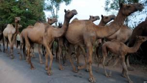Стадо верблюдов в Индии