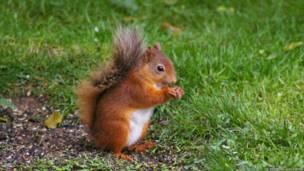 Esquilo (Foto Charles Deeming)