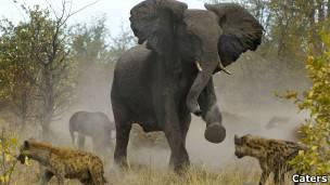 Elefanta afugenta hienas (Caters)