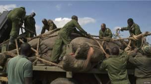 Des employés des Services de la protection de la faune kényans s'apprêtant à relocaliser un éléphant dans un parc national. Mercredi 19 juin.