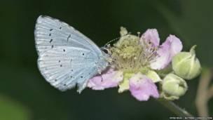 होली ब्लू नस्ल की तितली. पीटर ईलीस/बटरफ्लाई कंजर्वेशन