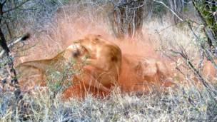 Veja luta de leoas na África do Sul.