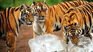 साइबेरियन टाइगर पार्क, चीन, बर्फ़, शेर