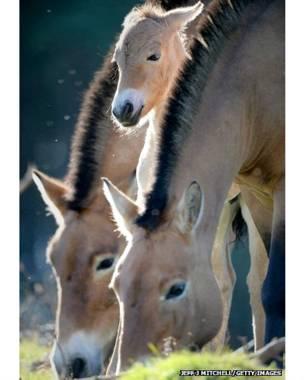 प्रज़ेवॉल्स्की नस्ल के घोड़े, स्कॉटलैंड