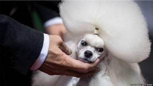कुत्ता संवारों प्रतियोगिता