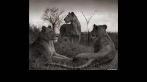 Aslanlar, SERENGETI, 2012 © Nick Brandt