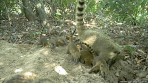 Coatíes cerca de la guarida del armadillo. Proyecto Armadillo Gigante del Pantanal