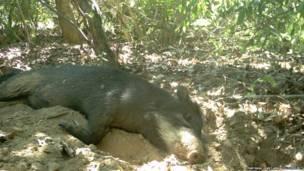 Cerdos salvajes en la madriguera del armadillo. Proyecto Armadillo Gigante del Pantanall