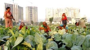 कोलकाता, गोभी की खेती