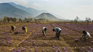 Camponeses muçulmanos colhem flores de açafrão em um campo em Pampore