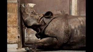 Rinoceronte indio, Invierno canadiense, por Stephen De Lisle
