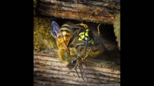 क्रिस रॉबिन्स-  अपने छत्ते की रक्षा करती मधुमक्खी