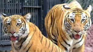 बंगाल टाइगर, हैदराबाद, नेहरू ज़ूलॉजिकल पार्क