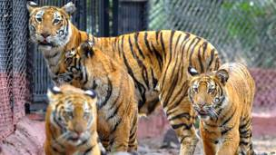 हैदराबाद, नेहरू ज़ूलॉजिकल पार्क, मादा बंगाल टाइगर,