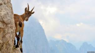 Альпійський козерог