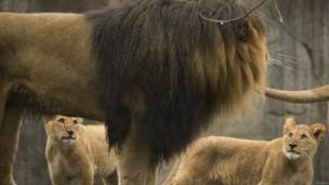 पोर्टलैंड, ऑरेगान चिड़ियाघर, बच्चे के साथ शेर