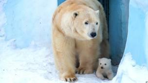 ध्रुवी. भालू, मॉस्को, रूस, नोवोसिब्रिक चिड़ियाघर
