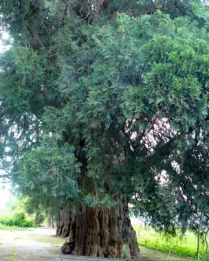 درختان چندصدساله در شمال تاجیکستان