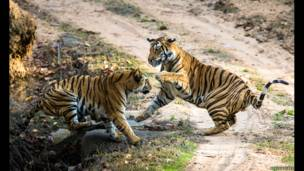 लड़ने का अभ्यास करते बाघ, बांधवगढ़, भारत. पॉल गोल्डस्टीन