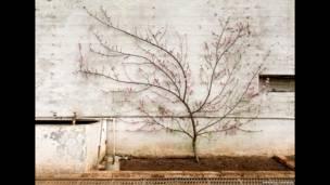 زهر شجر الدراق في بيت زجاجي