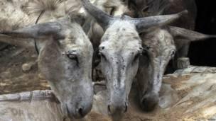 पाकिस्तान के पंजाब सूबे के चाओ सैदान शाह की कोयला खदानों में काम करने वाले गधे