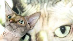 स्फिंक्स नस्ल की बिल्ली