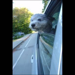 Perro y auto