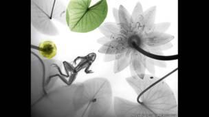 Radiografía a color de una rana acompañada de nenúfares. Arie van't Riet / SPL / Barcroft Media