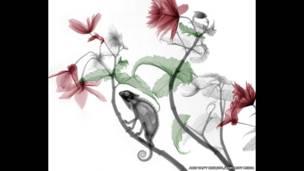 Radiografía a color de un camaleón sobre una planta de Begonia. Arie van't Riet / SPL / Barcroft Media