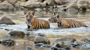 बंगाल टाइगर, एंडी राउस